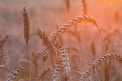 Закройте вверх пшеничного поля стоковое фото
