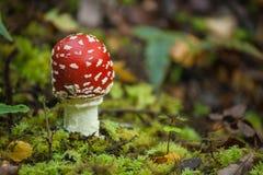 Закройте вверх пластинчатого гриба мухы Стоковые Фотографии RF