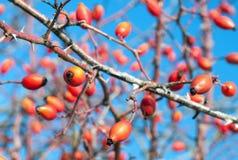 Закройте вверх плодоовощ плодов шиповника стоковое фото rf