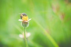 Закройте вверх работая пчелы на цветке Стоковые Фото