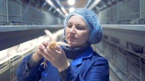 Закройте вверх работника фабрики проверяя малого цыпленка сток-видео