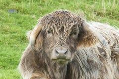 Закройте вверх разведенной крестом коровы гористой местности Стоковое Фото