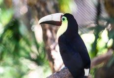 Закройте вверх раненое toucan стоковая фотография rf