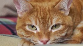 Закройте вверх расслабленного красного кота видеоматериал