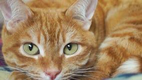 Закройте вверх расслабленного красного кота сток-видео