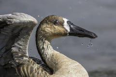Закройте вверх редкой гусыни лебедя Стоковые Изображения