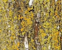 Закройте вверх ржавчины и грибка на коре дерева Стоковая Фотография RF