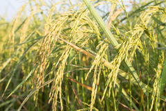 Закройте вверх риса в поле Стоковое Изображение RF