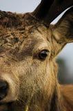 Закройте вверх рогача красных оленей Стоковые Фотографии RF