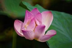 Закройте вверх розового лотоса Стоковое Фото