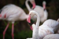 Закройте вверх розового фламинго в зоопарке Стоковая Фотография
