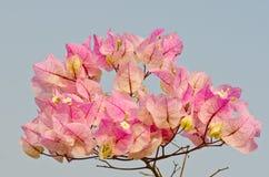 Закройте вверх розового цветка бугинвилии Стоковые Фото