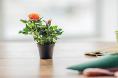Закройте вверх розового цветка в баке на таблице дома Стоковые Фото