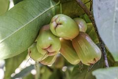 Закройте вверх розового яблока на дереве стоковое фото rf