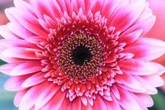 Закройте вверх розового gerbera Стоковые Изображения
