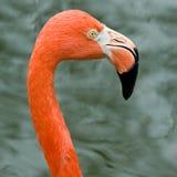 Закройте вверх розовой изолированной птицы фламинго Стоковое фото RF