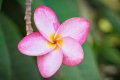 Закройте вверх, розовый plumeria на дереве plumeria Стоковое Фото