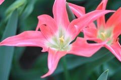 Закройте вверх 2 розовых тюльпанов с зелеными сердцами стоковое изображение rf