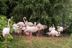 Закройте вверх розовых фламинго стоковое фото rf