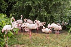 Закройте вверх розовых фламинго стоковые фото