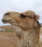 Закройте вверх дромадера или аравийского верблюда Стоковое фото RF