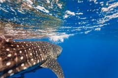 Закройте вверх рубрики китовой акулы (typus Rhincodon) к поверхности Вест-Индии Стоковая Фотография RF