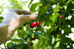 Закройте вверх рудоразборки руки женщины фермера, жмущ свежие зрелые вишни прямо от дерева, фильтр через листья, тень солнца стоковое фото rf