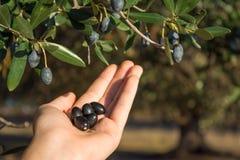 Закройте вверх руки собирая оливки от ветви оливкового дерева Стоковая Фотография RF