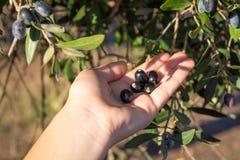 Закройте вверх руки собирая оливки от ветви оливкового дерева Стоковое Фото