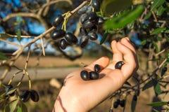 Закройте вверх руки собирая оливки от ветви оливкового дерева Стоковые Изображения