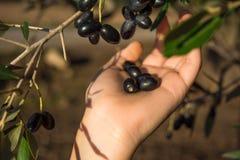 Закройте вверх руки собирая оливки от ветви оливкового дерева Стоковая Фотография