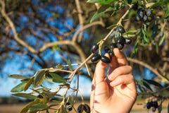 Закройте вверх руки собирая оливки от ветви оливкового дерева Стоковое Изображение