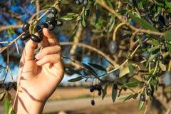Закройте вверх руки собирая оливки от ветви оливкового дерева Стоковое Изображение RF