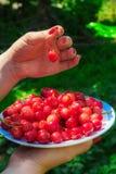 Закройте вверх рук с винтажным шаром полным вишен Женские руки держа плиту с красными вишнями Стоковая Фотография RF