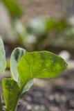 Закройте вверх саженца капусты Стоковая Фотография RF