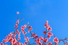 Закройте вверх Сакуры Стоковая Фотография