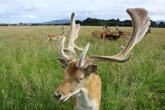 Закройте вверх самца оленя ланей в зеленом поле Парк Феникс, Дублин, Ирландия Стоковые Изображения RF