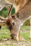 Закройте вверх самца оленя dama пася Стоковое Изображение RF