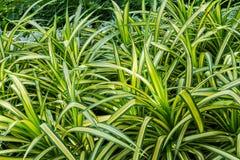 Закройте вверх свежего завода comosum Chlorophytum листьев Стоковое Изображение RF