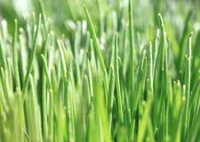 Закройте вверх свежей толстой травы, предпосылки зеленой травы Стоковое Изображение RF