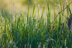 Закройте вверх свежей толстой травы с падениями воды в раннем утре Стоковые Изображения RF