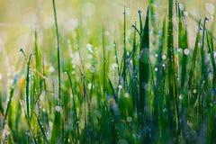 Закройте вверх свежей толстой травы с падениями воды в раннем утре Стоковые Фото