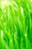 Закройте вверх свежей толстой травы с падениями воды в раннем утре Стоковое Фото