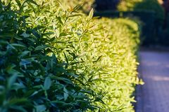 Закройте вверх свежих зеленых листьев загоренных солнечным светом стоковая фотография rf