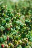 Закройте вверх свежих органических ягод с зелеными листьями на тросточке поленики Сад лета в деревне Стоковые Фото