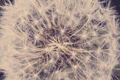 Закройте вверх семени одуванчика стоковые фотографии rf