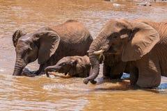 Закройте вверх семьи слона в воде в Южной Африке стоковая фотография