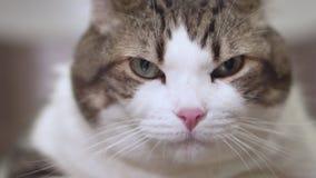 Закройте вверх сердитого кота смотря камеру сток-видео