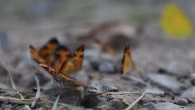Закройте вверх серебристой бабочки checkerspot видеоматериал