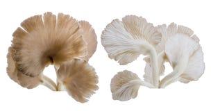 Закройте вверх серого гриба устрицы изолированного на белой предпосылке Стоковые Фото
